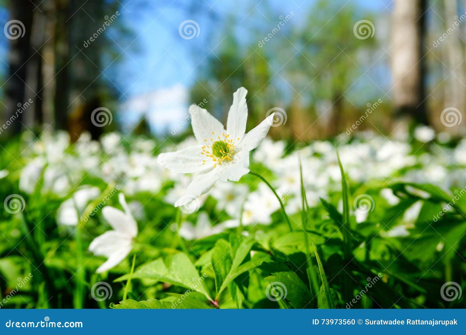 开花在森林里的白色银莲花属