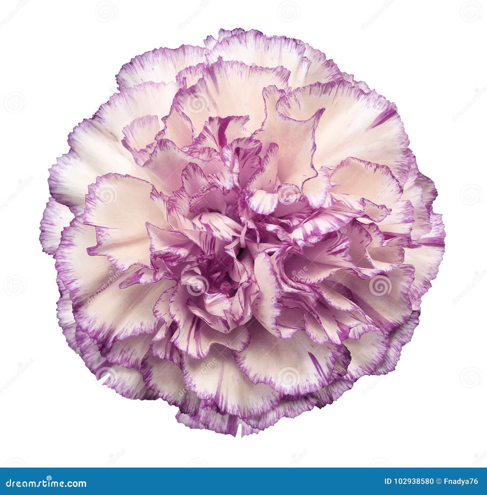 开花在白色被隔绝的背景的白紫罗兰色康乃馨与裁减路线 特写镜头 没有影子 对设计