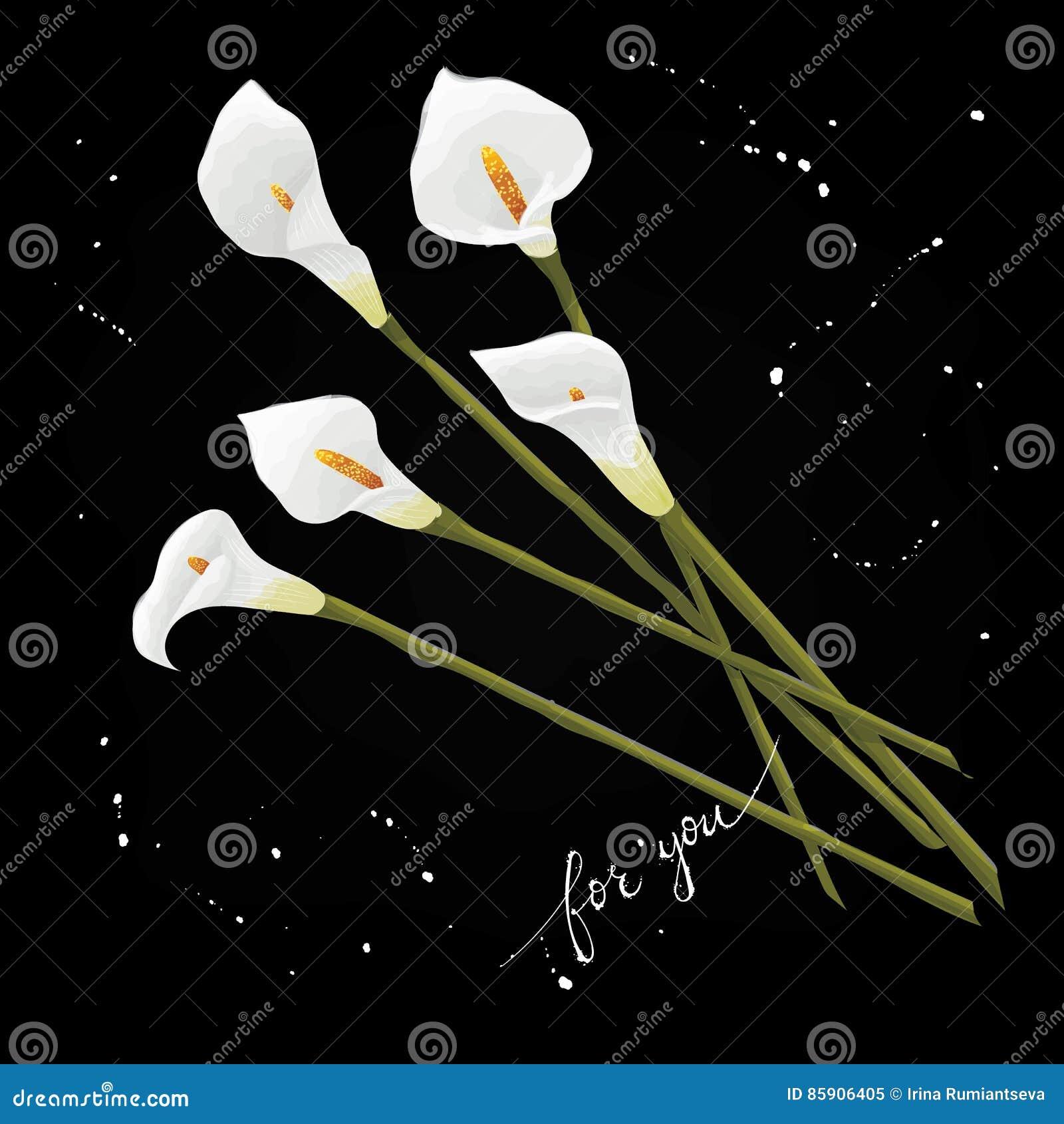 开花在黑背景的水芋百合