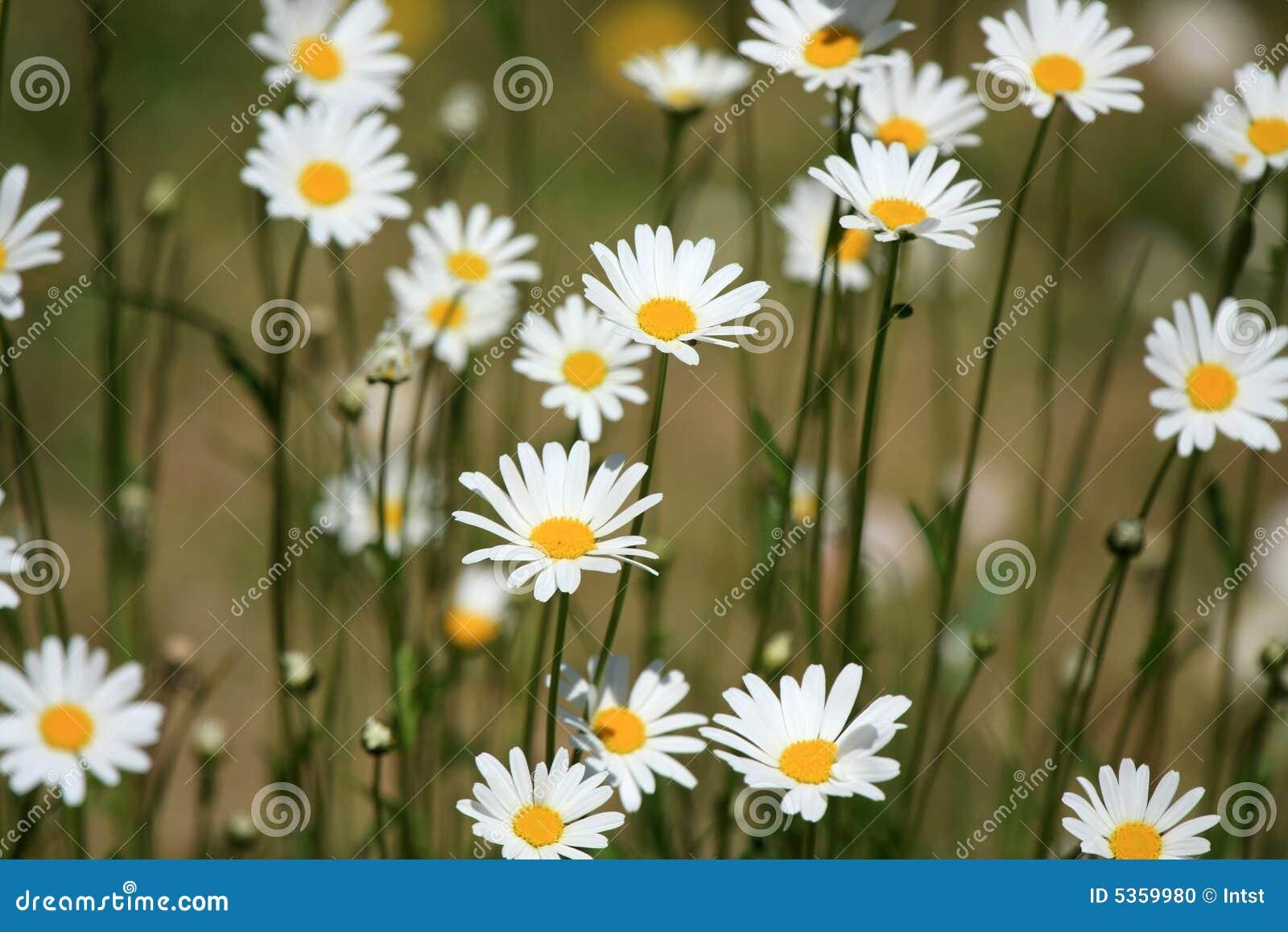开花延命菊白色