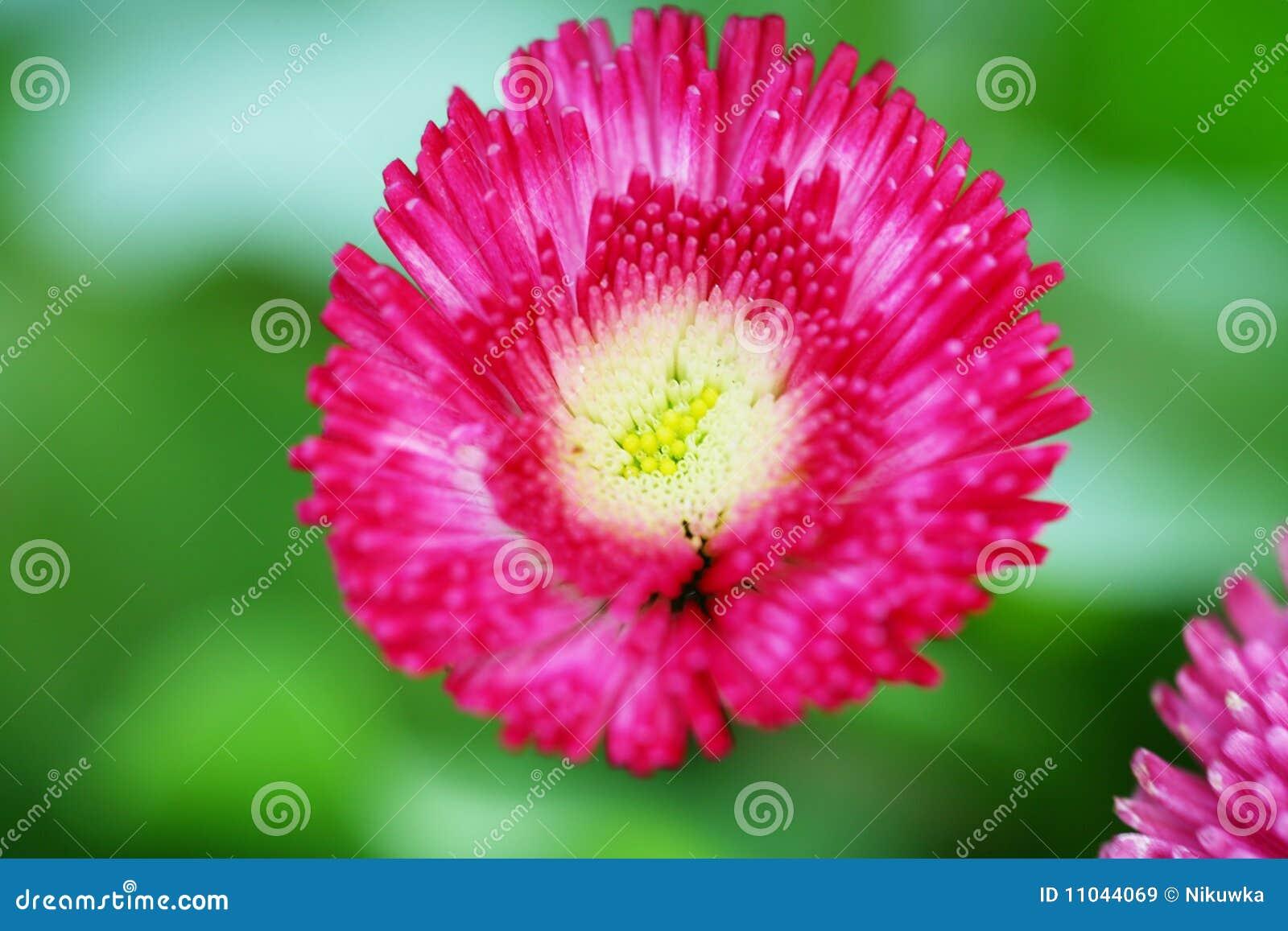开花延命菊粉红色
