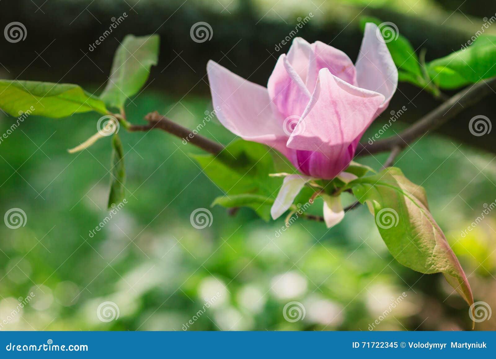 开花春天的美丽的桃红色木兰花在阳光下