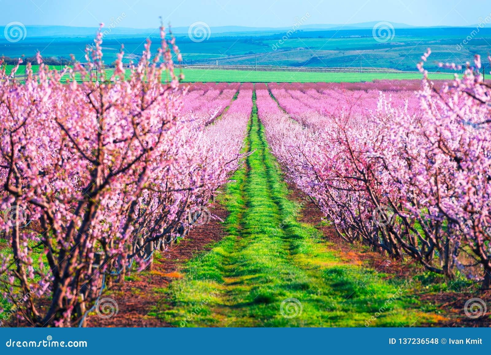 开花桃树行在春天庭院里