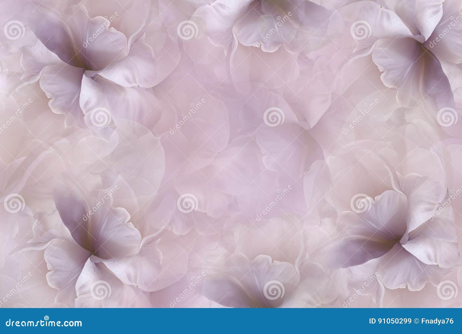 开花桃红色紫罗兰色背景 紫色白的大瓣花郁金香 花卉拼贴画 背景构成旋花植物空白花的郁金香