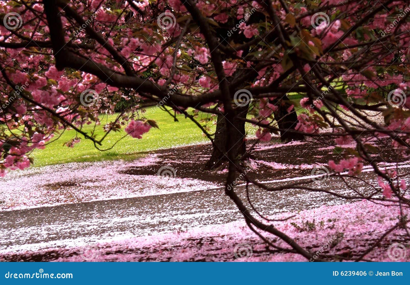 开花樱桃庭院