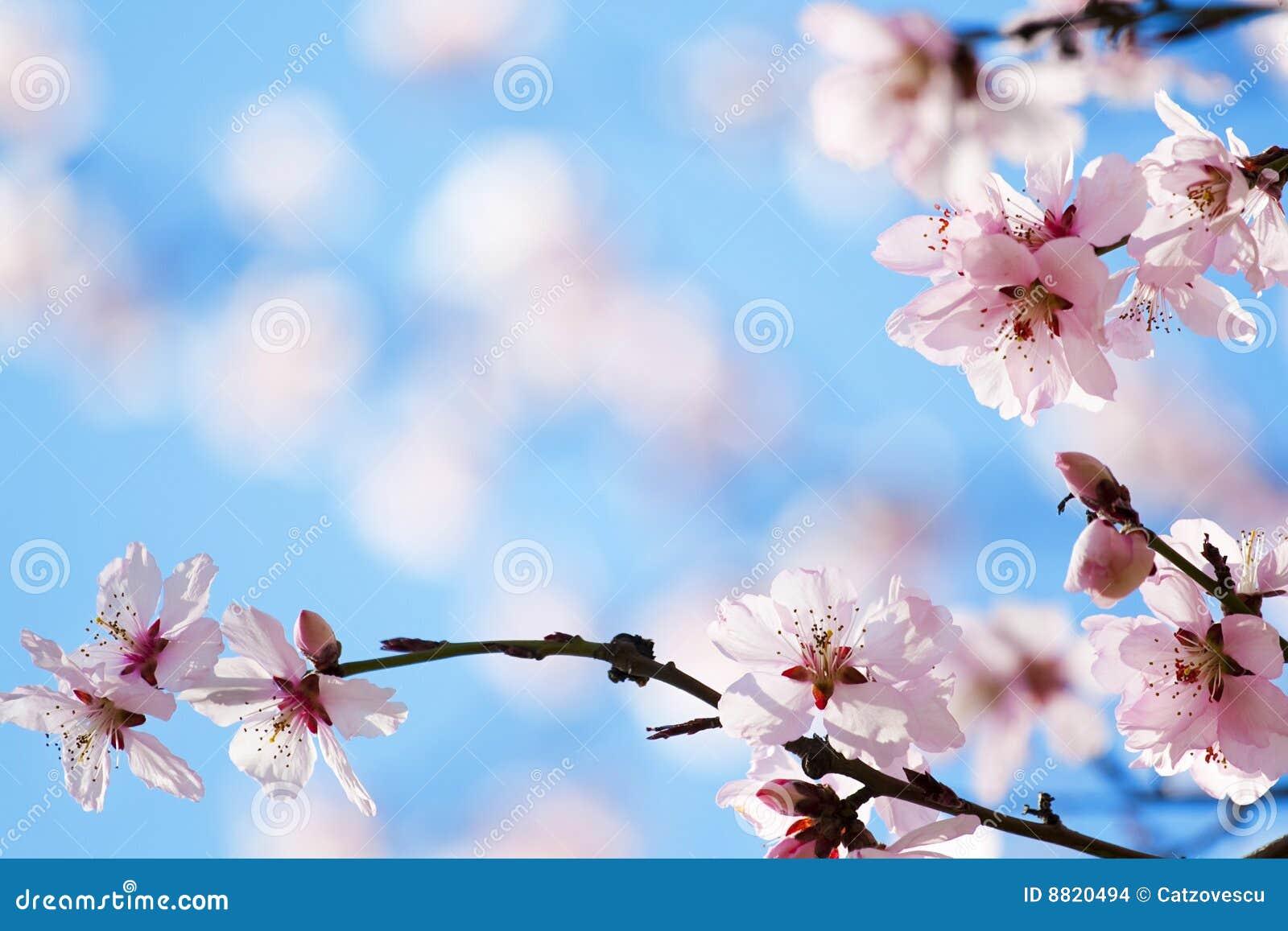 开花樱桃春天