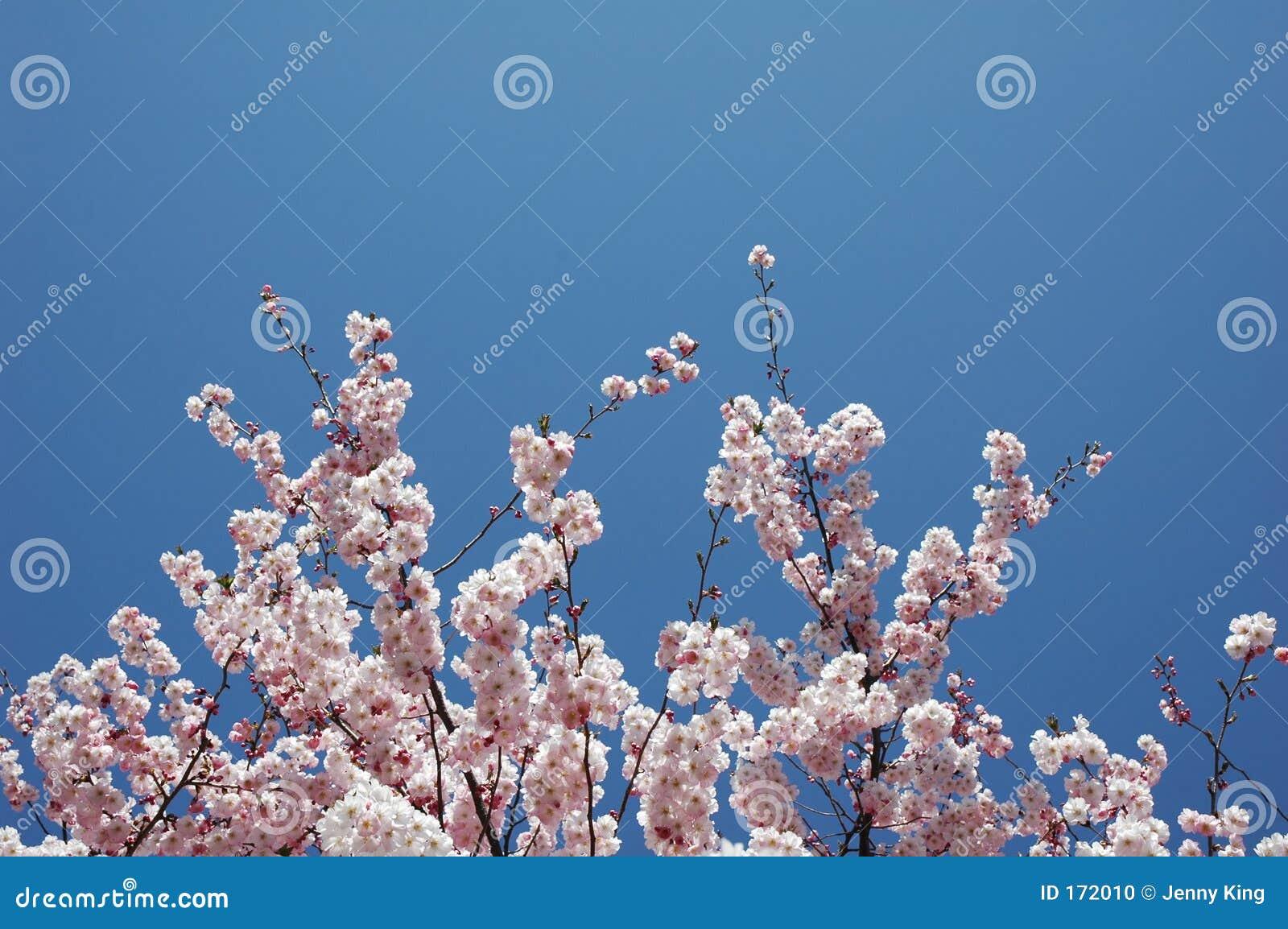开花樱桃树
