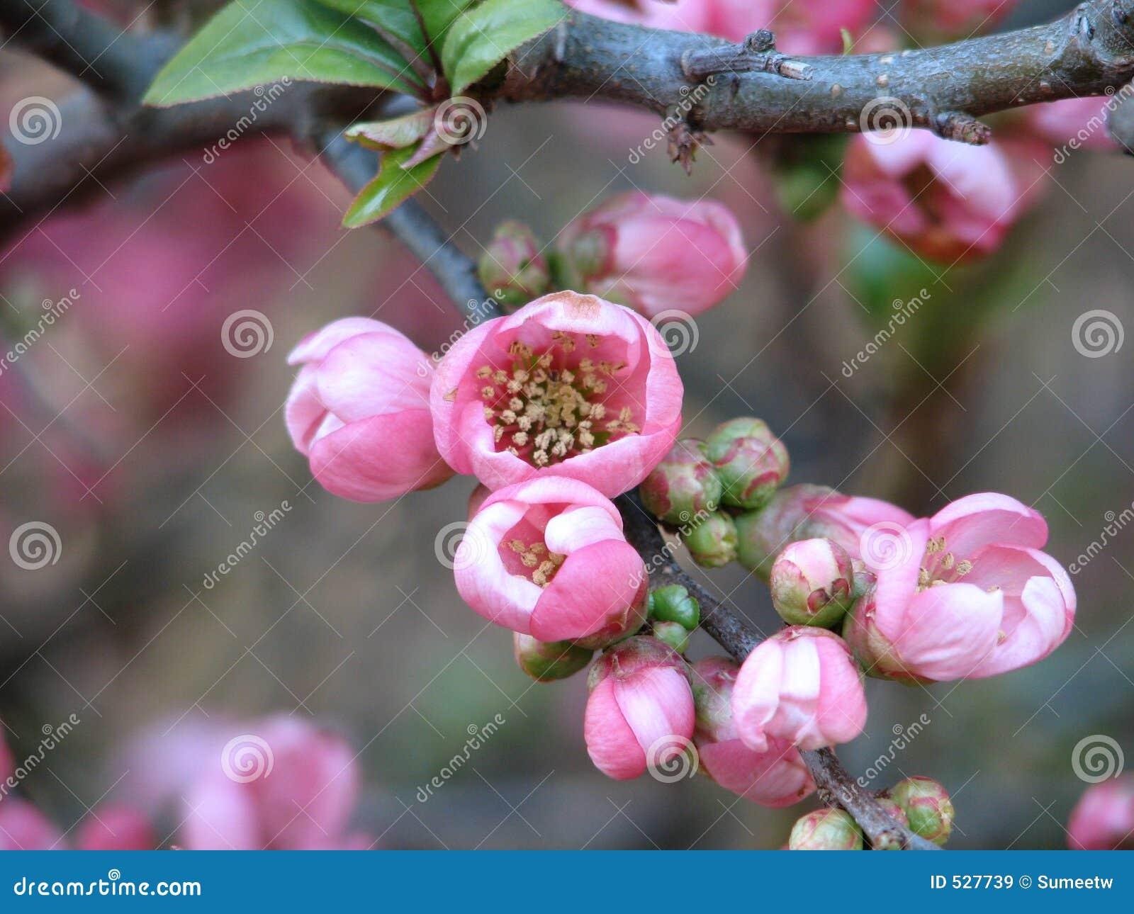 Download 开花樱桃海岛温哥华 库存图片. 图片 包括有 精美, 植物群, 空白, 哥伦比亚, 宏指令, 关闭, 绿色, 招标 - 527739