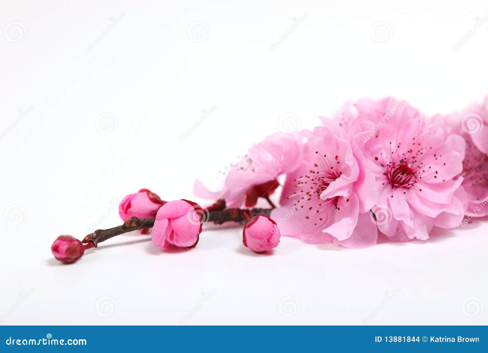 开花樱桃特写镜头开花粉红色