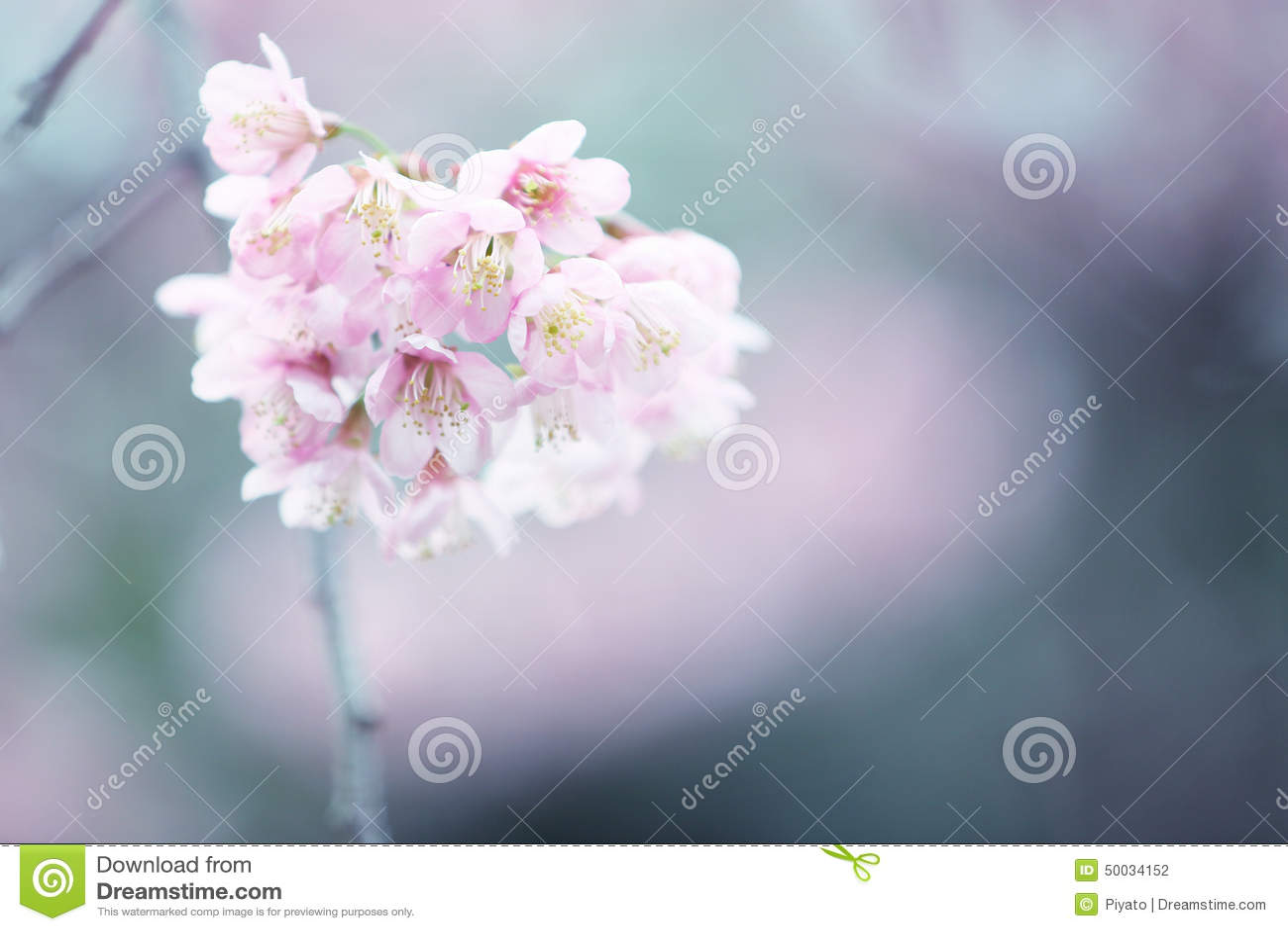 开花樱桃花粉红色佐仓