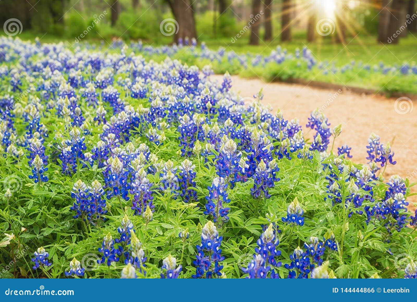 开花沿足迹的得克萨斯矢车菊