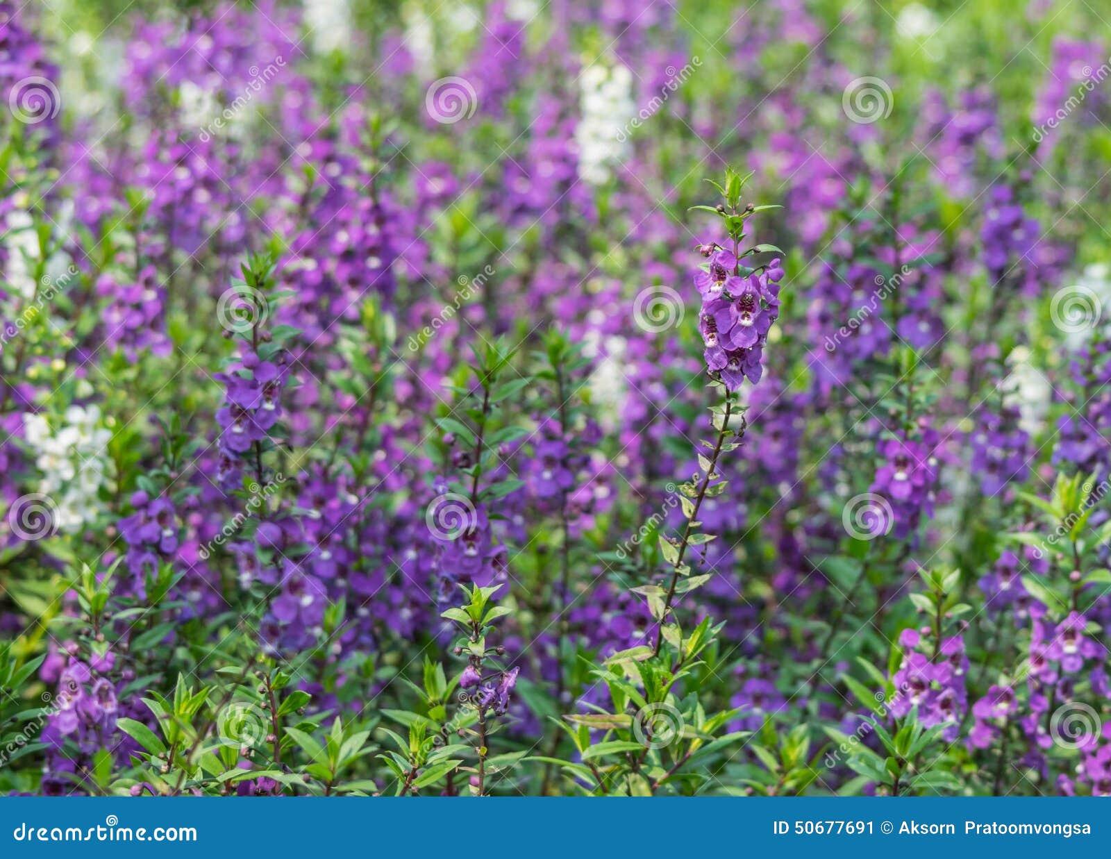 Download 开花淡紫色 库存图片. 图片 包括有 灌木, 草本, 芬芳, beauvoir, beautifuler - 50677691