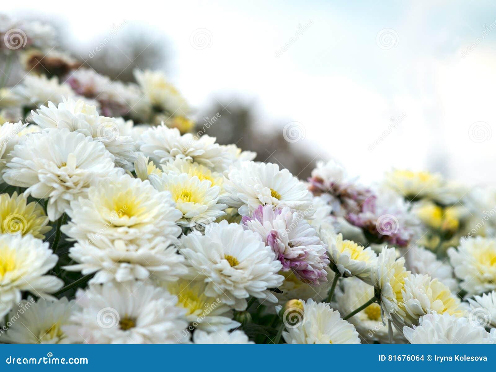 开花白色,黄色和桃红色春黄菊,菊花 抽象花卉自然本底,春天花