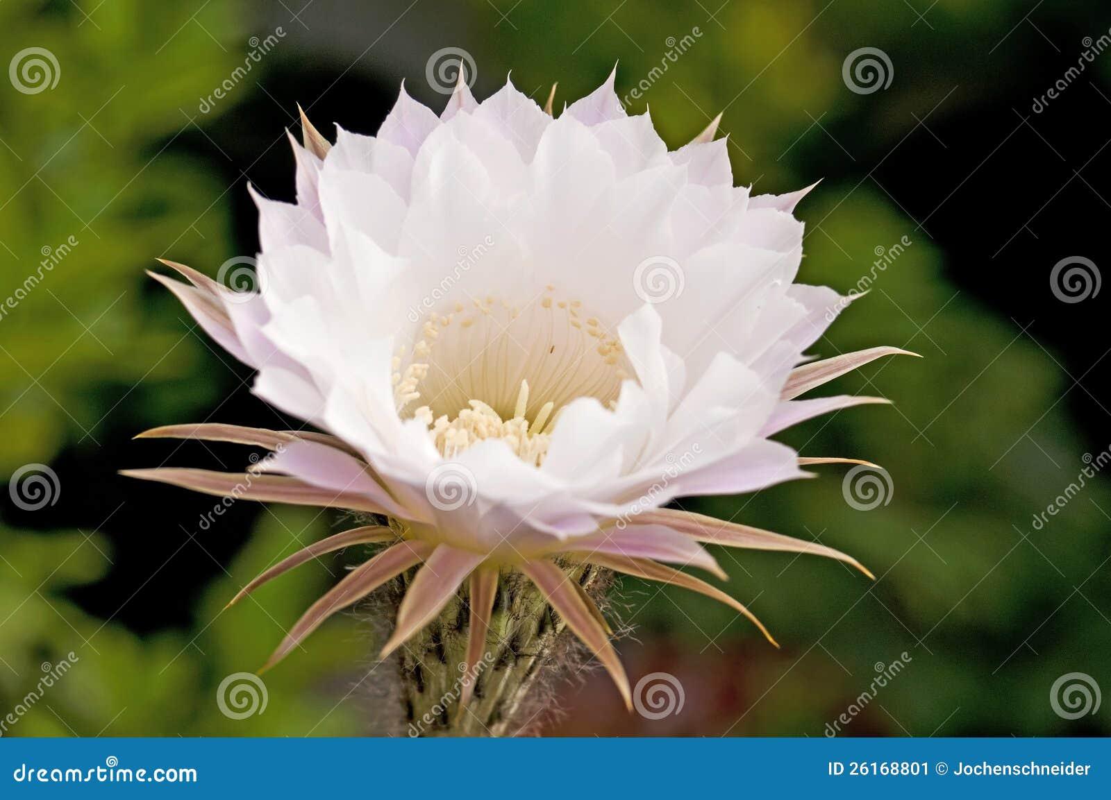 開花的仙人掌刺頭屬erysii特寫鏡頭.圖片