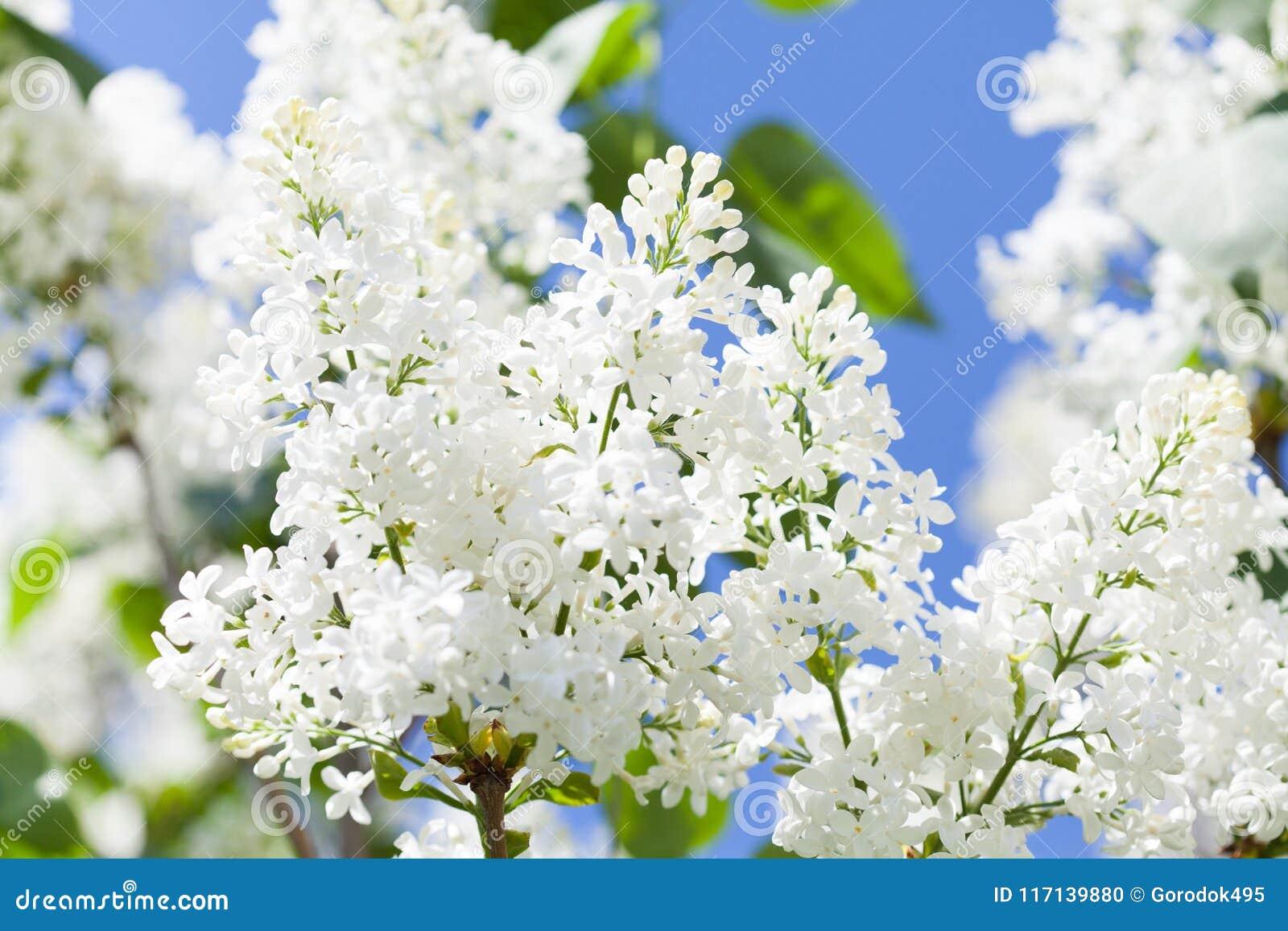 开花的共同的紫丁香属植物寻常的淡紫色灌木白色培育品种 与束的春天风景嫩花 百合