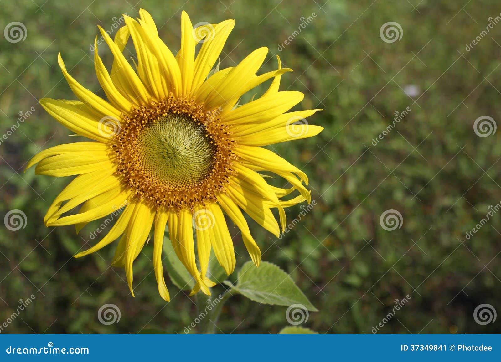 开花的向日葵