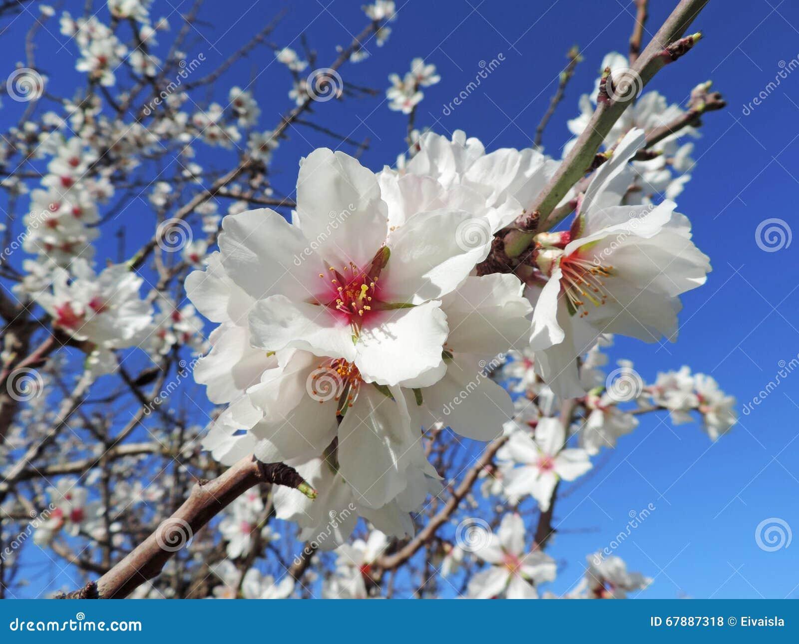 开花的扁桃
