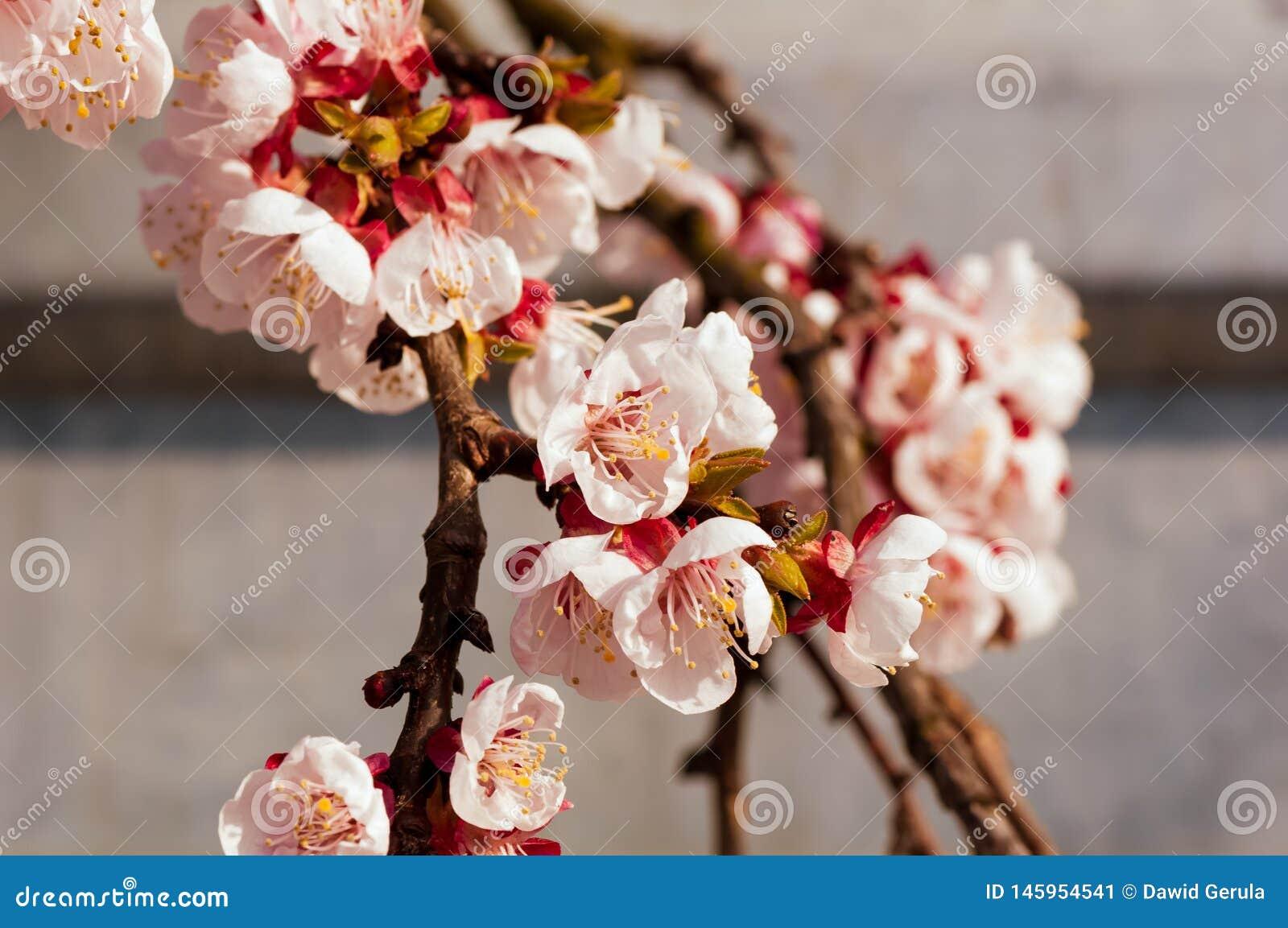 开花的日本樱桃树 开花与明亮的白花的白色,桃红色佐仓花在背景中