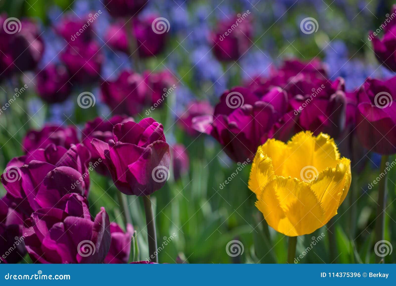 开花的春天郁金香