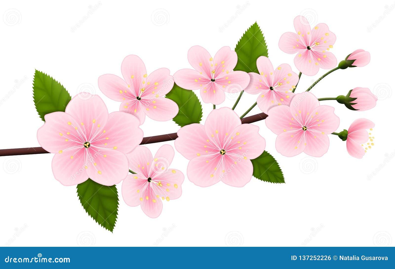开花的樱桃或佐仓分支的传染媒介图象