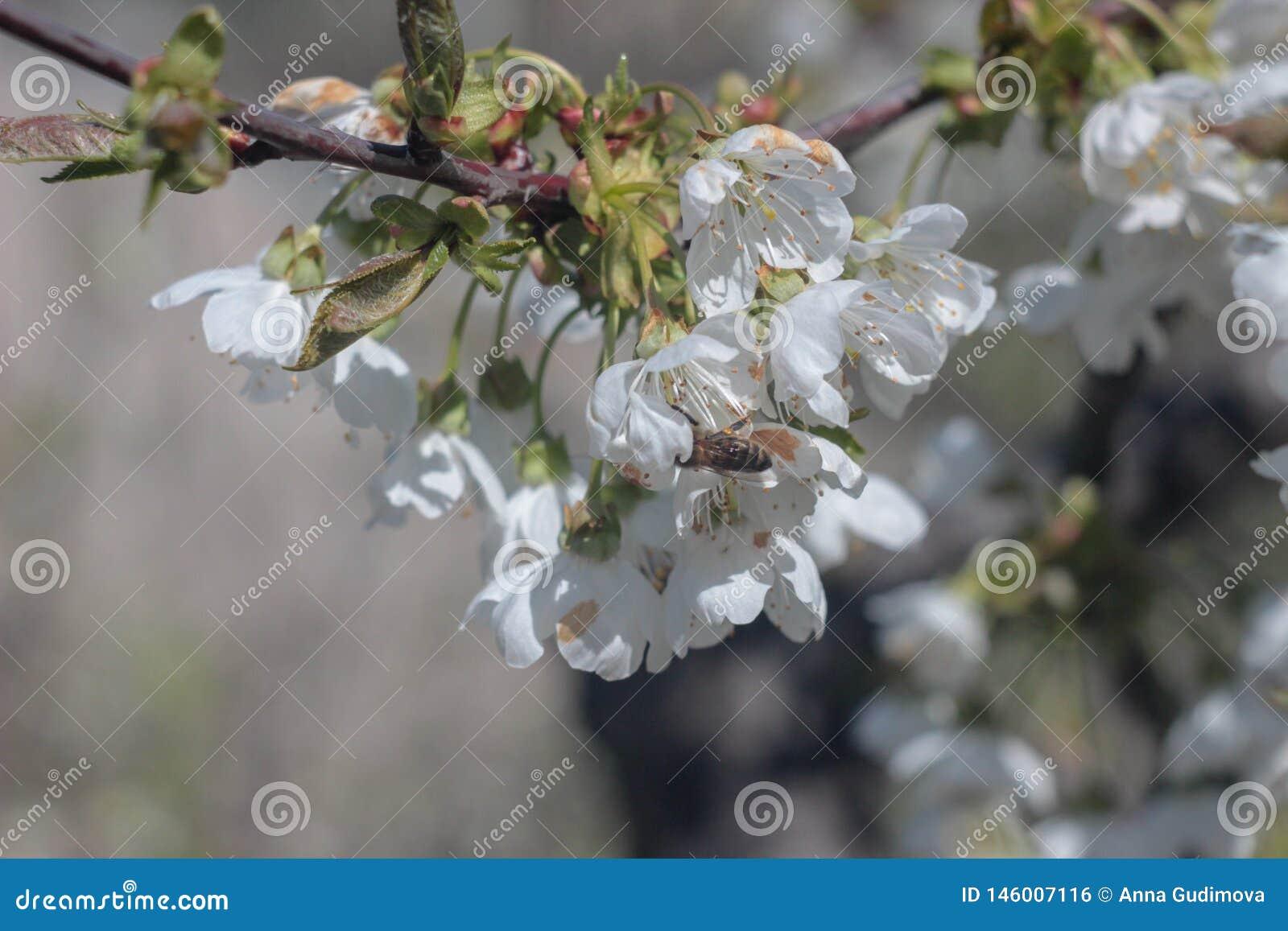 开花的樱桃树照片
