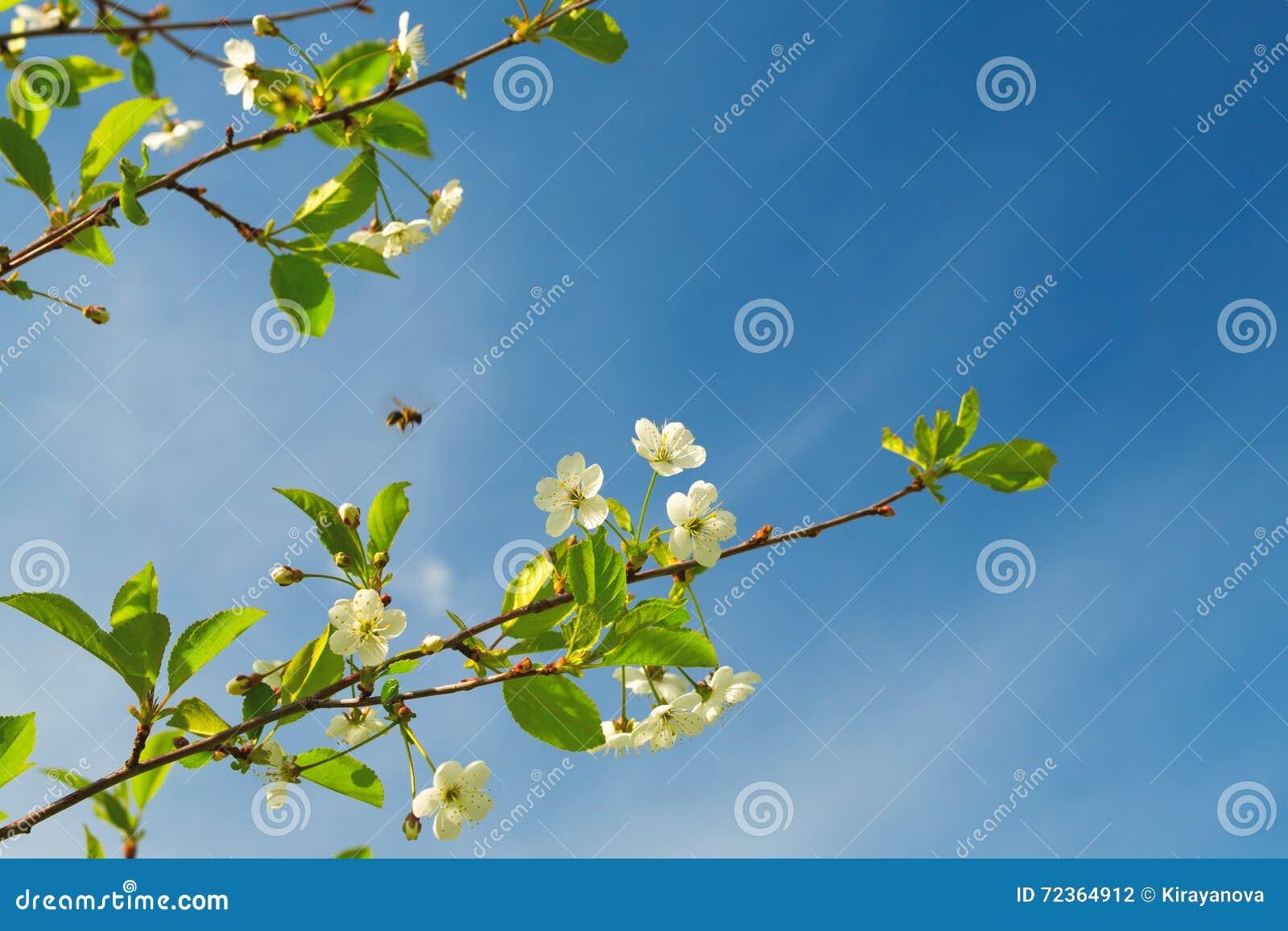 开花的樱桃的分支