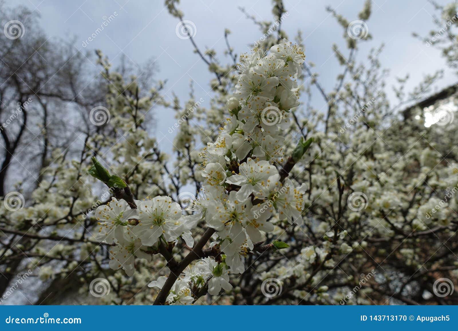 开花的樱桃笔直分支反对天空的