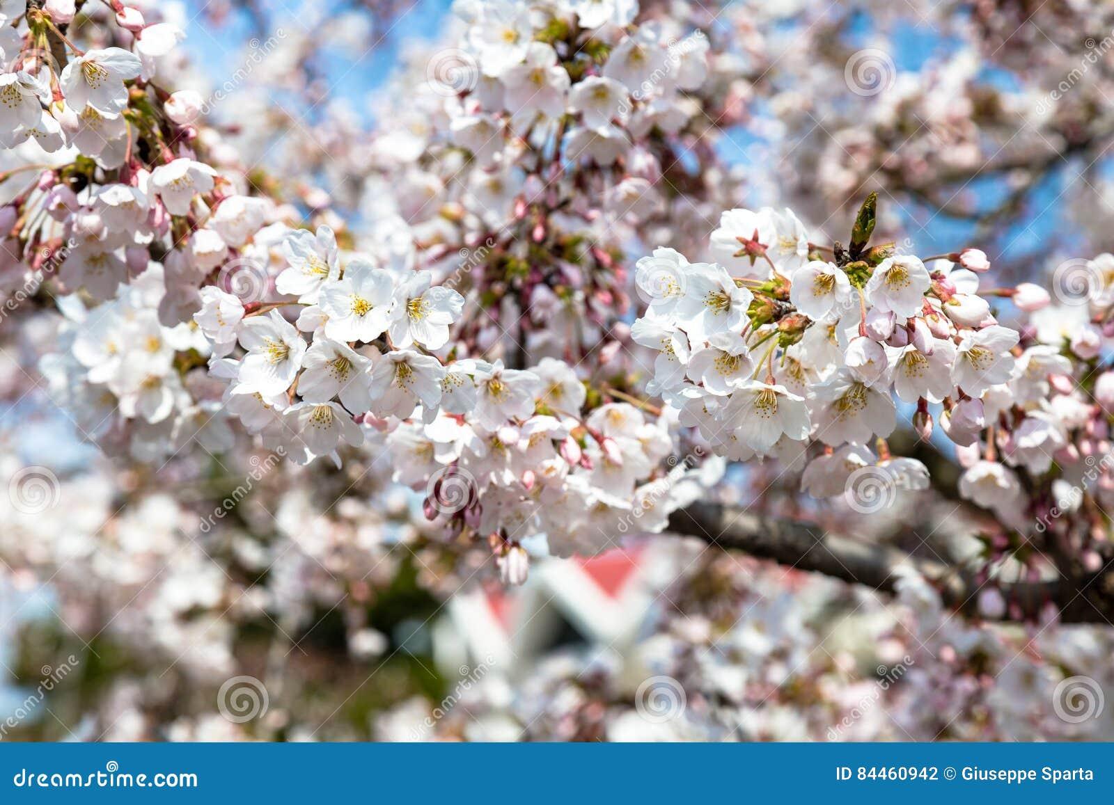 开花的樱花在中山公园在春天,青岛,中国