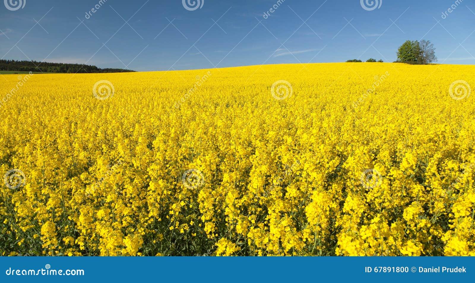 开花的油菜籽的金黄领域与蓝天的