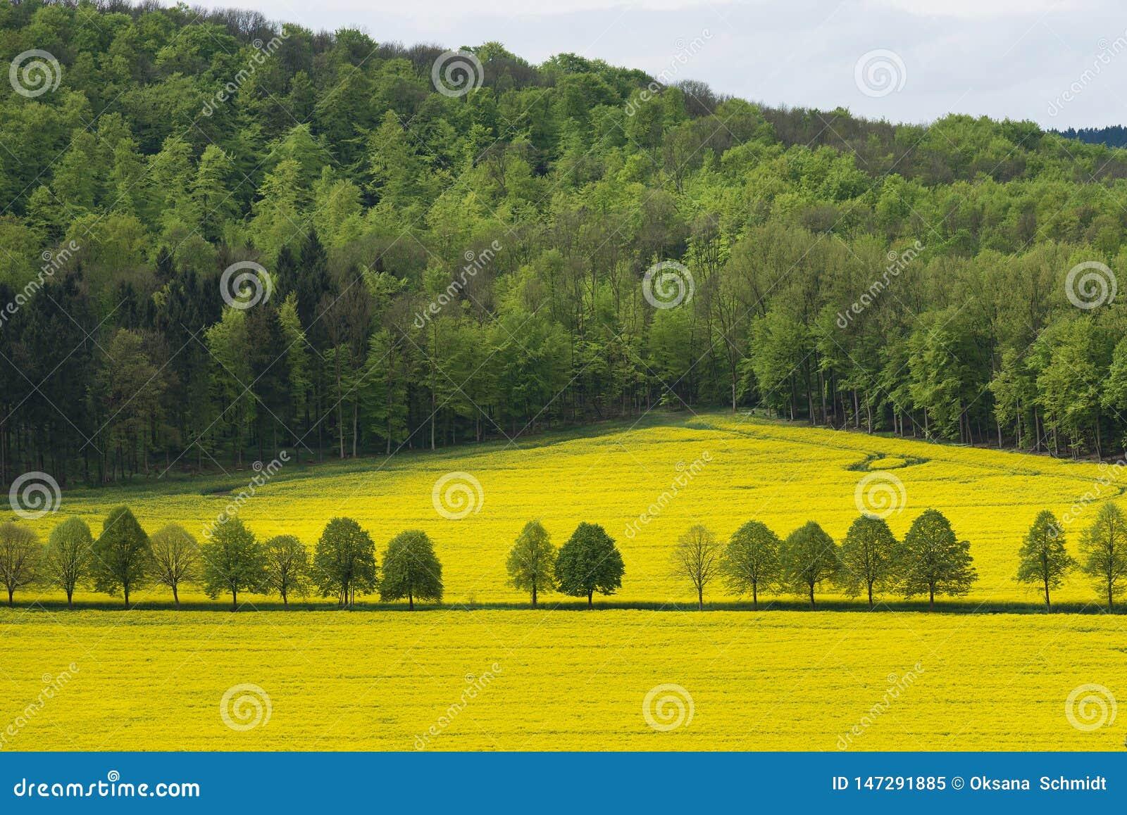 开花的油菜籽美好的农村风景与很远森林的