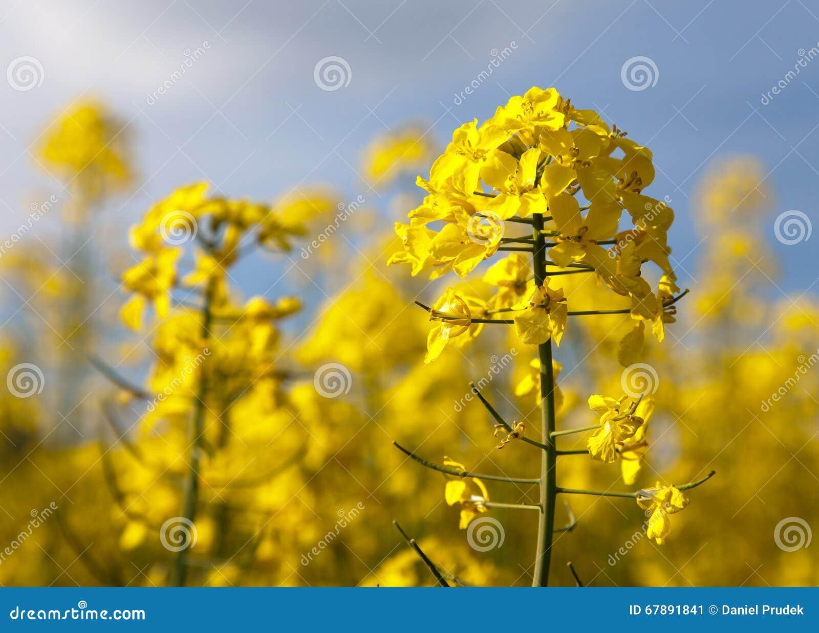 开花的油菜籽-芸苔Napus细节