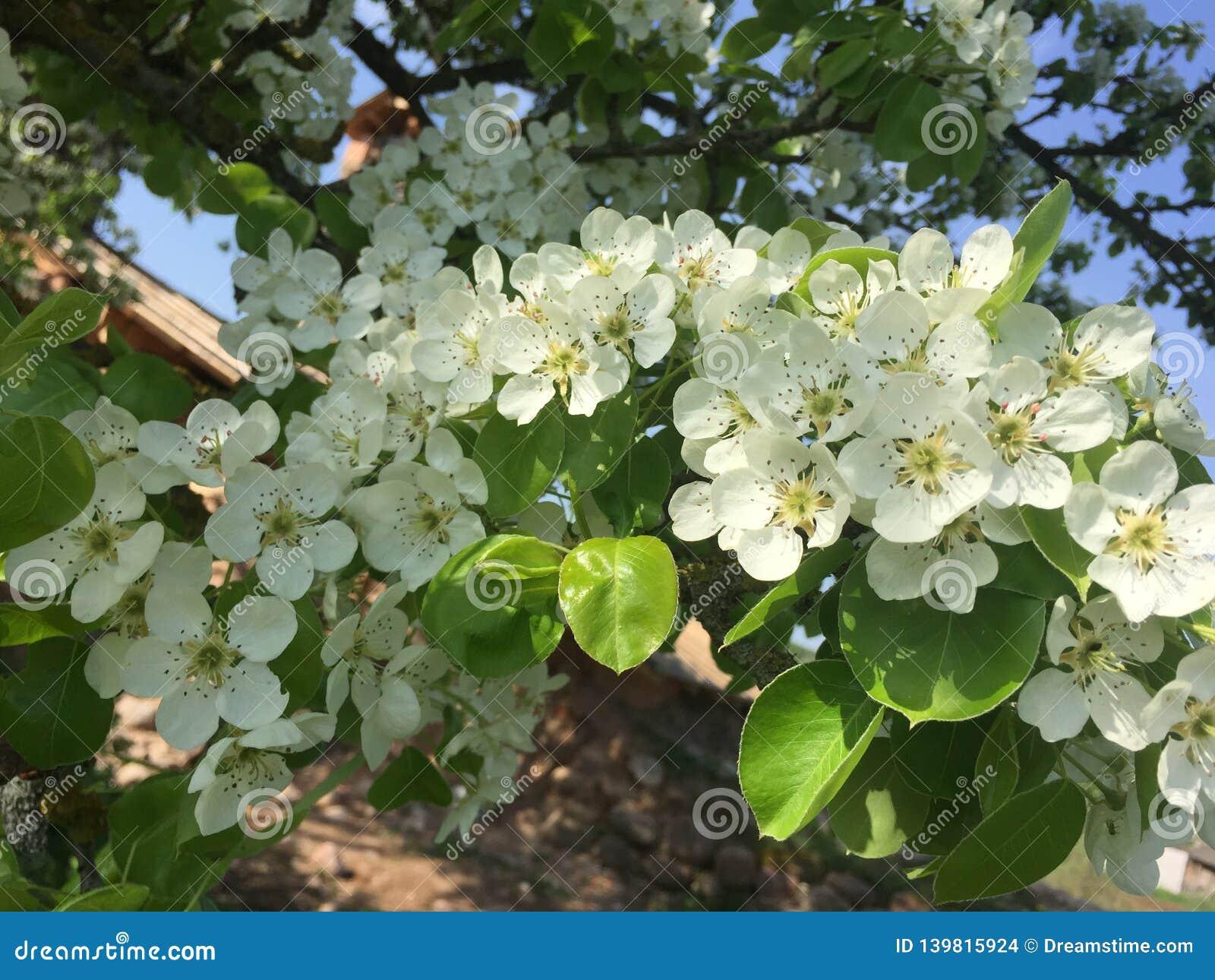 开花的洋梨树