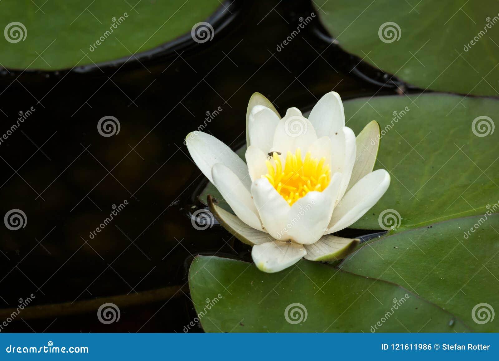 开花的浪端的白色泡沫百合在一个晴天在夏天