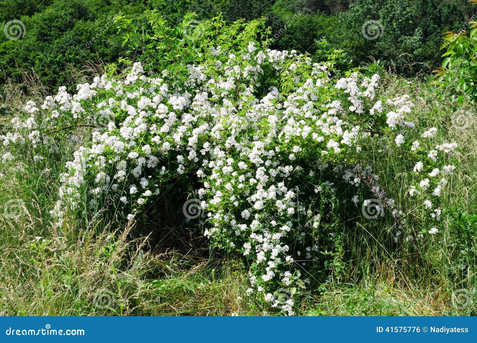 开花的灌木