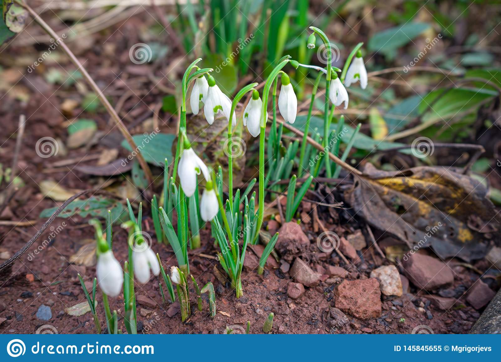 开花的白色snowdrops花在春天庭院里