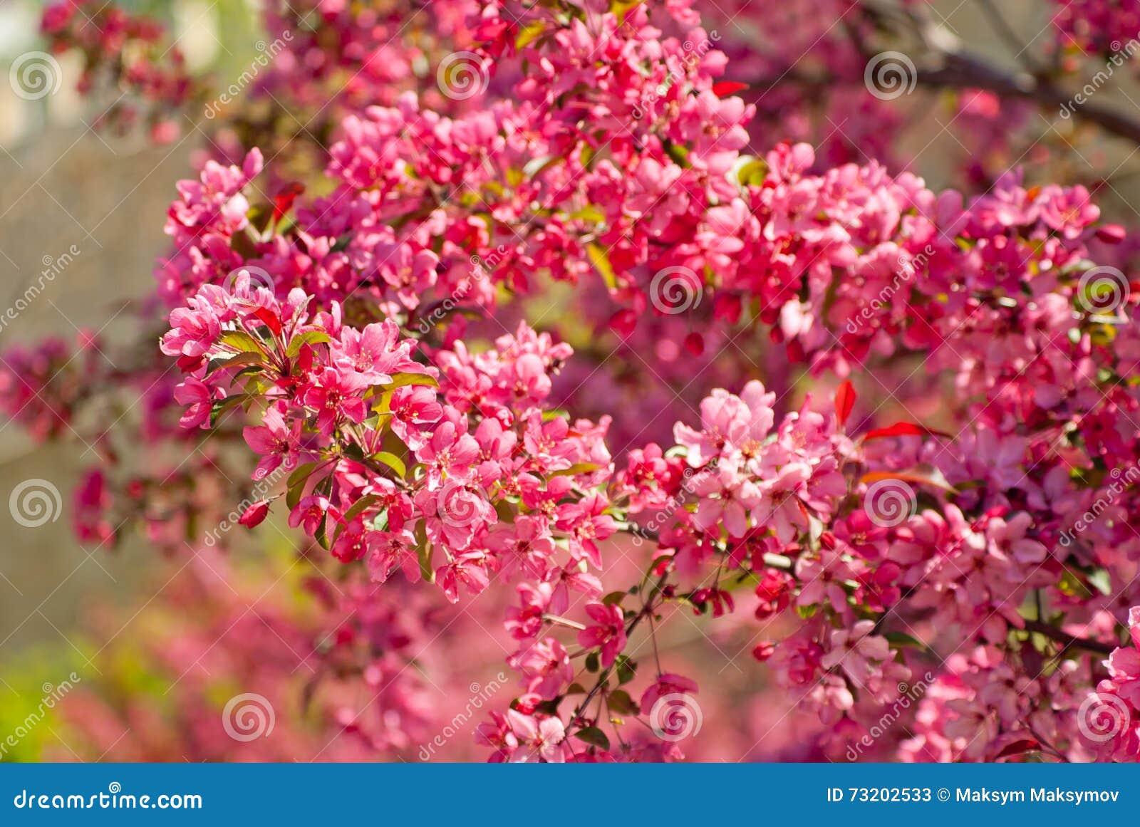 开花的皇族罗盘星座苹果树