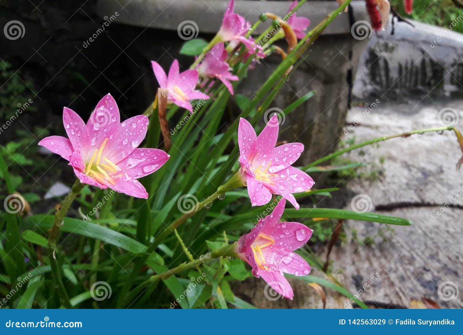 开花的神仙的百合花在庭院里