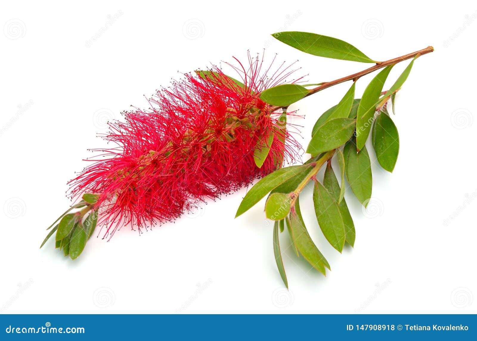 开花的红色Melaleuca、paperbarks、蜂蜜加州桂或者茶树,洗瓶刷 r