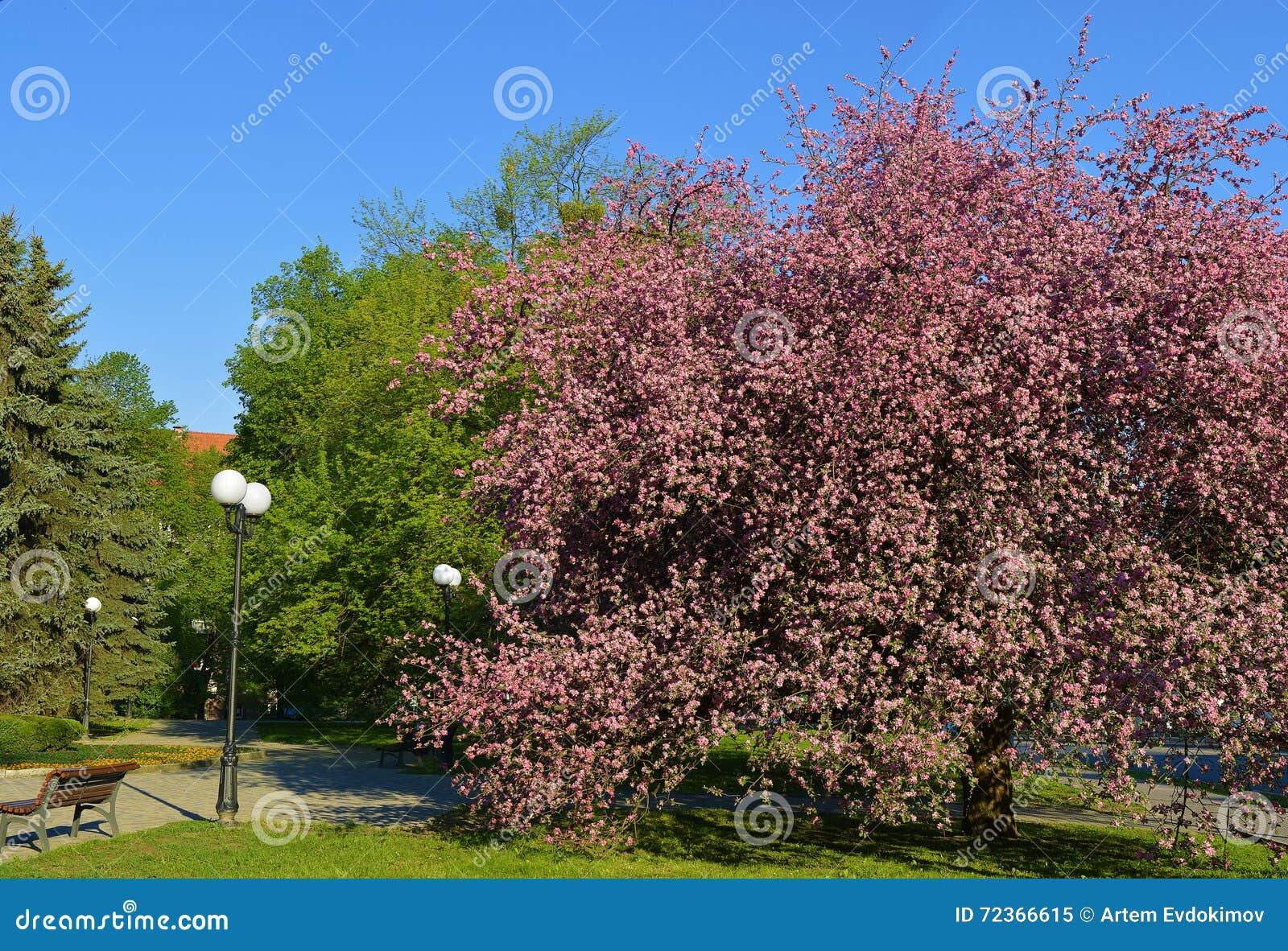 开花的苹果树春天在公园