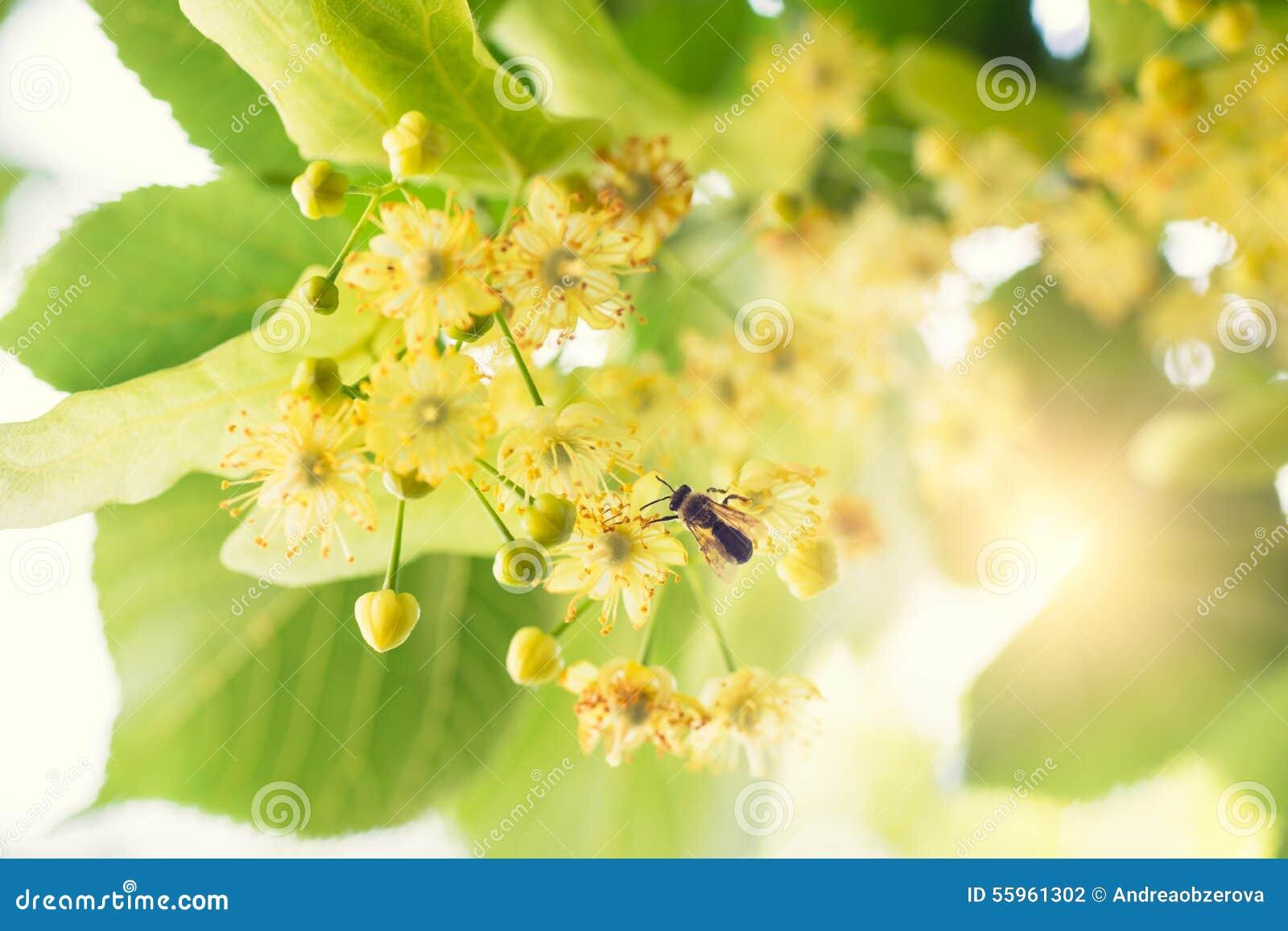 开花的菩提树,在绽放的椴树与蜂