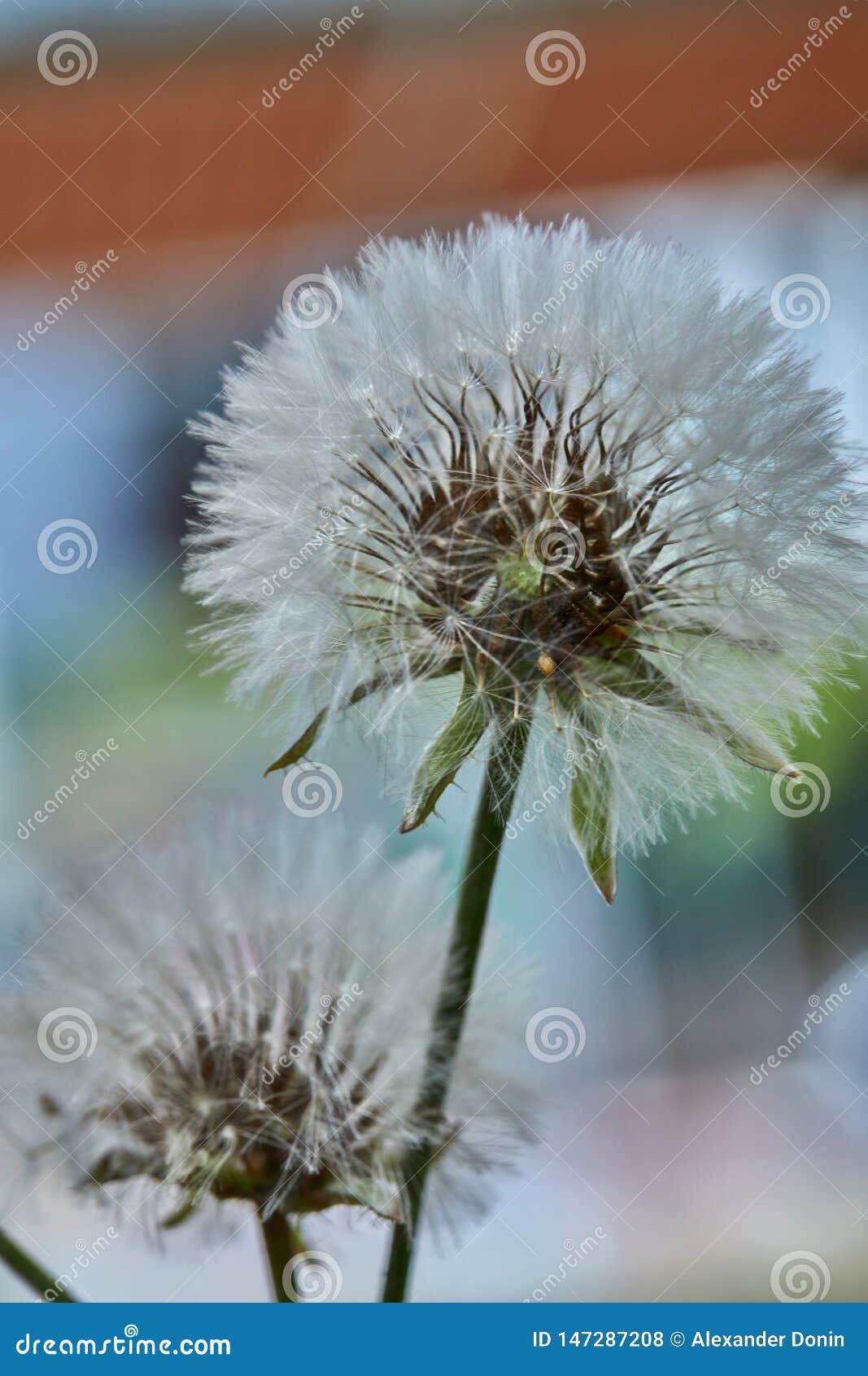 开花的蒲公英本质上