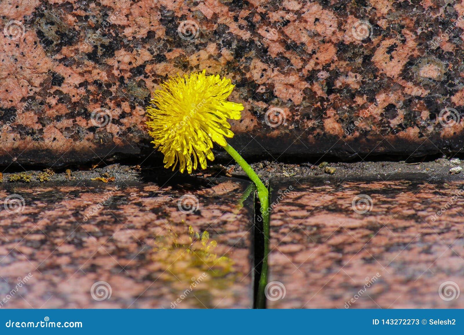 开花的黄色蒲公英在花岗岩石头中的一个裂缝增长 关闭