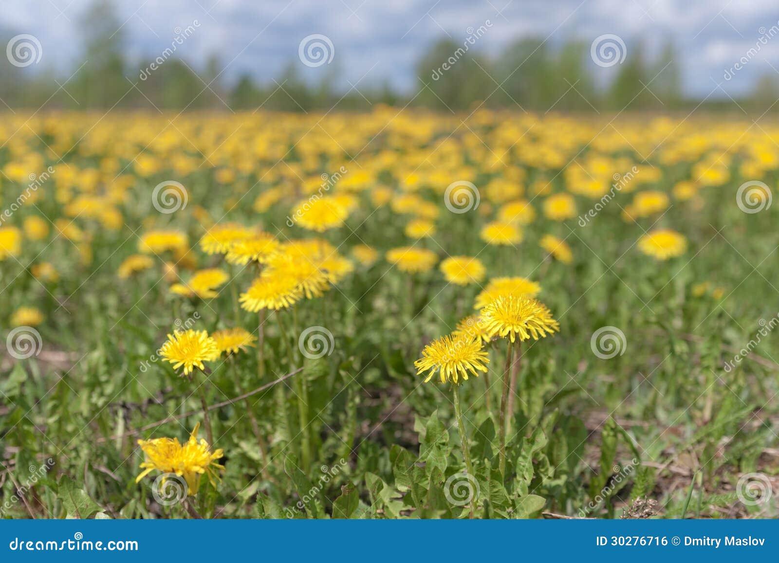 开花的黄色蒲公英