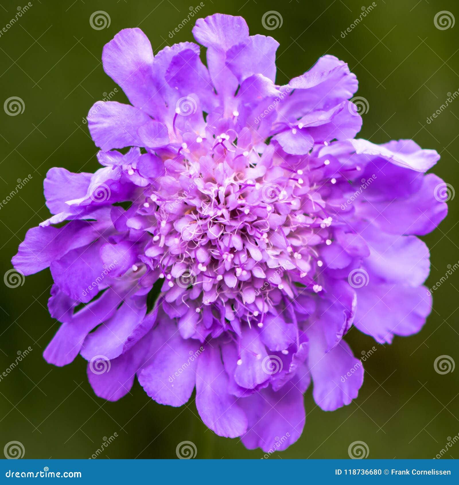开花的Scabiosa充分地,吸引昆虫