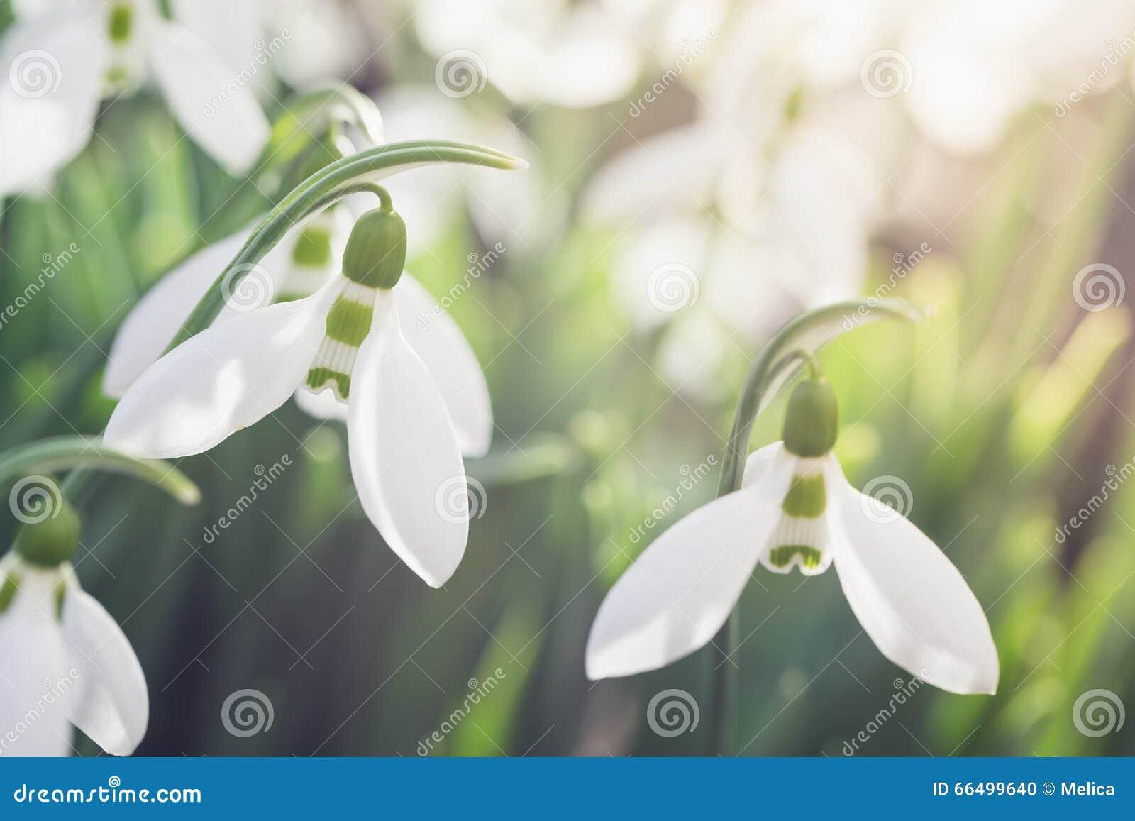 开花的Snowdrops户外