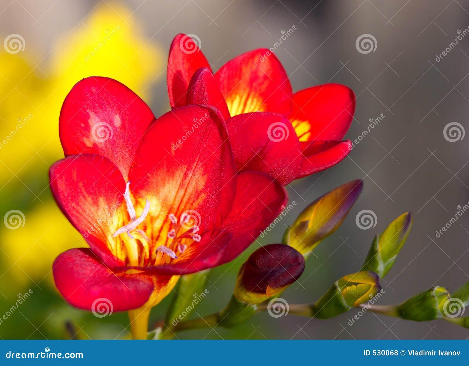 Download 开花红色 库存照片. 图片 包括有 工厂, 室内, 看板卡, 花卉, 红色, 完美, 冬天, 开花的, 明信片 - 530068