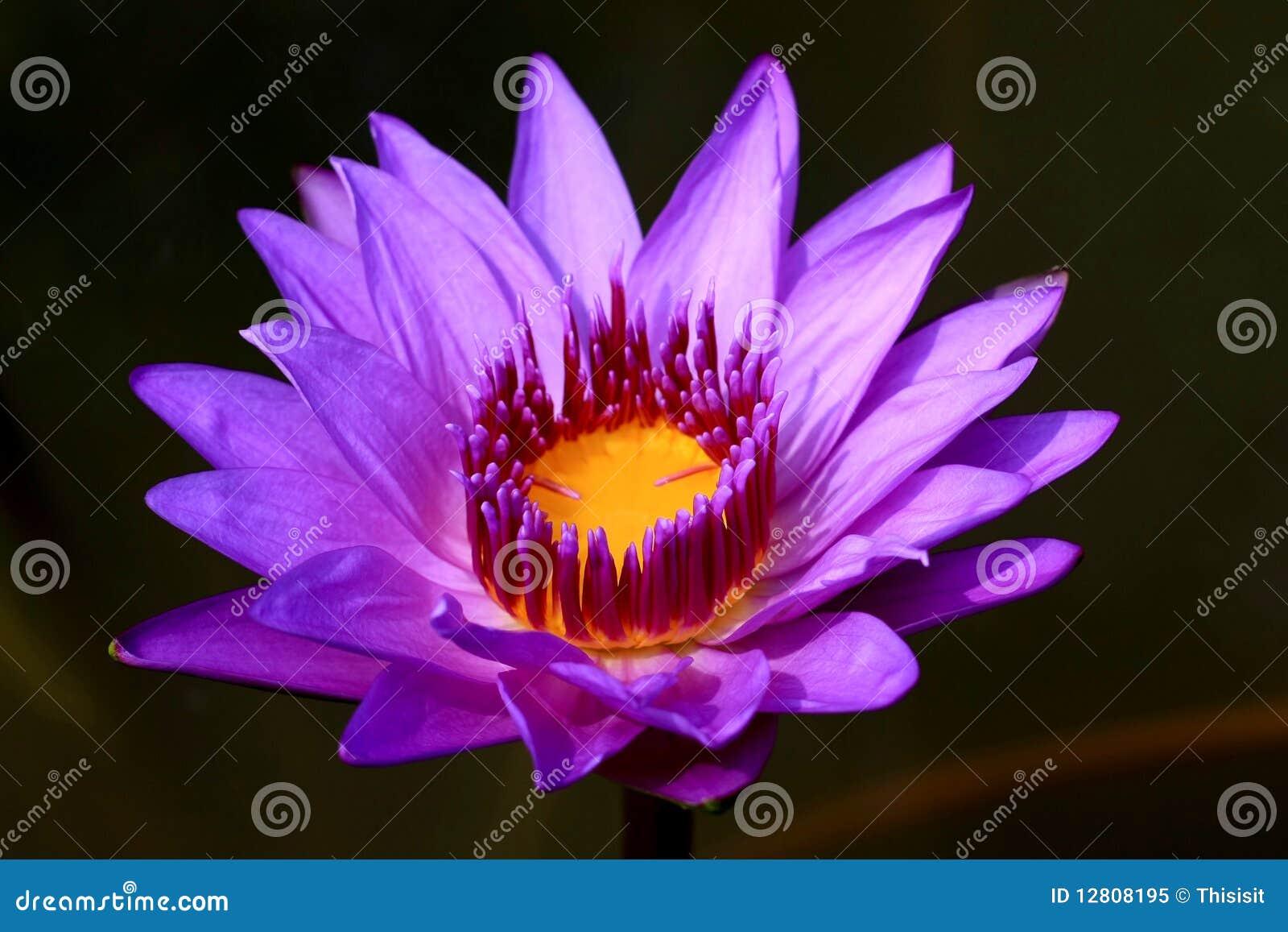 开花莲花紫色