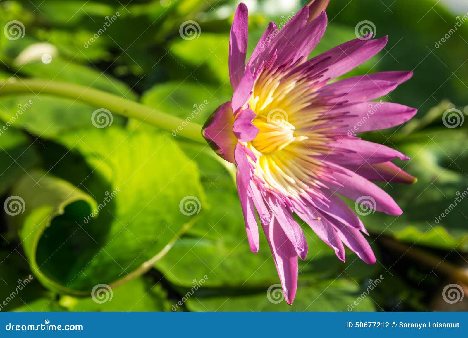 Download 开花莲花 库存照片. 图片 包括有 几天, 自然, 花卉, 疲劳, 减少, 刷新, 开花的, 哺育, 玻色子 - 50677212