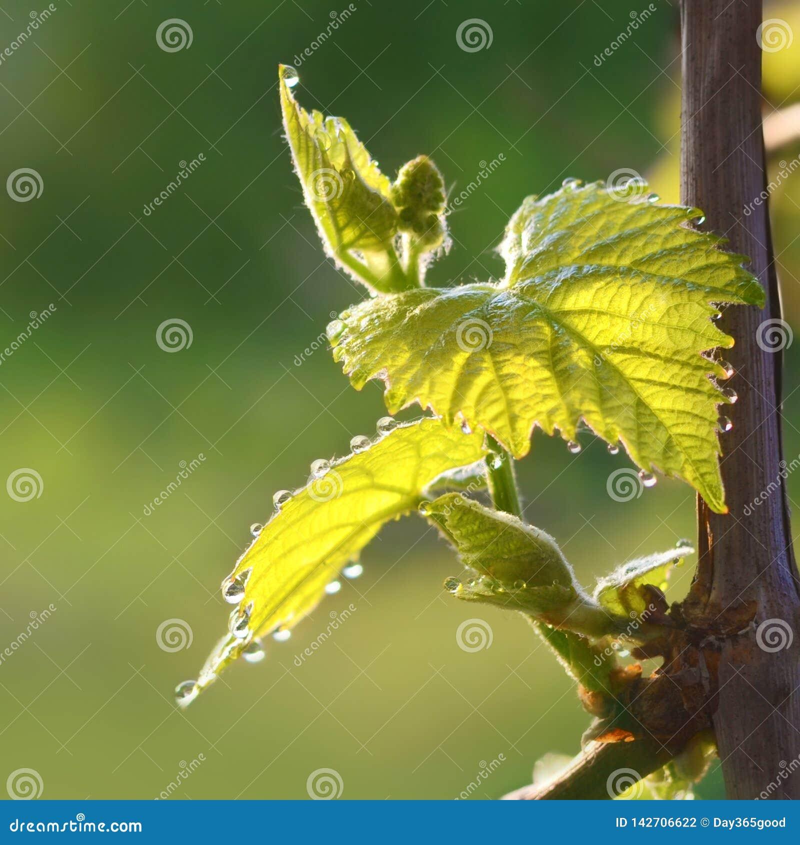 开花葡萄在春天 葡萄年轻叶子与露水下落的
