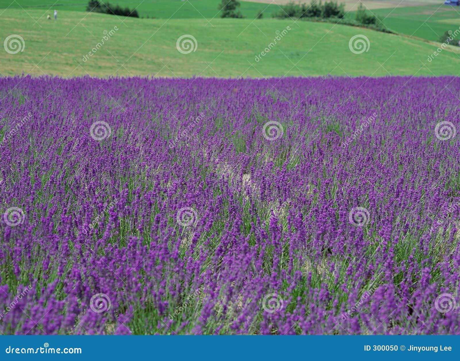 Download 开花通配 库存照片. 图片 包括有 背包, 庄稼, 紫罗兰色, 种植, 种田, 紫色, 丁香, 本质, 种子 - 300050